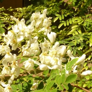 Moringa Blüten