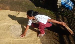 Java Reis Ernte