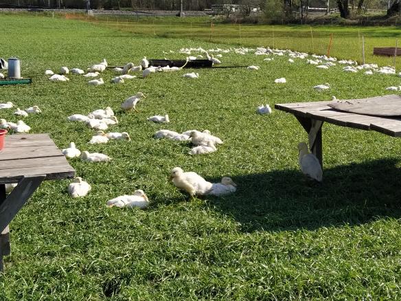 Die Enten freuen sich